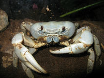 Christmas Island Blue Crab Stock Images