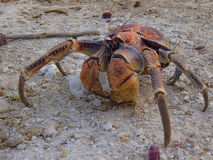 Christmas Island Robber Crab Stock Photos