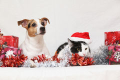 Christmas Jack Rusell terrier with a cat Royalty Free Stock Photography