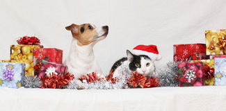 Christmas Jack Rusell terrier with a cat Stock Photography