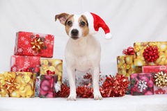 Christmas Jack Russell terrier with gifts Stock Photography