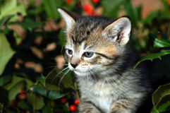 Christmas Kitten Royalty Free Stock Photos