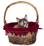 Christmas Kitten. Calico kitten in a holiday basket stock photography