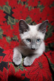 Christmas Kitten. Small, purebred, lilac point Siamese kitten on red poinsettia tapestry chair Stock Photo