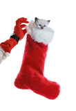 Christmas kitten. Santa's helper delivering a sock full of christmas presents with a kitten Royalty Free Stock Image