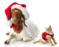 Christmas kitten and santa goat stock photography
