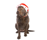 Christmas labrador royalty free stock photo