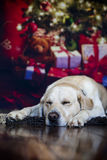 Christmas Labrador Royalty Free Stock Image