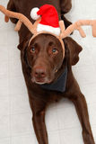 Christmas labrador deer Stock Photos