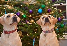 Christmas Labrador Retrievers Royalty Free Stock Image