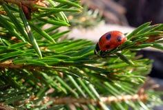 Christmas ladybug. On fir-tree branch like Christmas toy Royalty Free Stock Photos