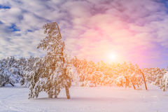 Christmas landscape with snow-covered trees Royalty Free Stock Images