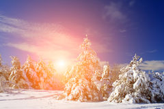 Christmas landscape with snow-covered trees Stock Photo