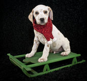 A Christmas Lemon Dalmatian Puppy Stock Photography