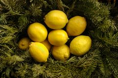 Christmas Lemons. A bowl of lemons with Christmas tree branches Stock Images