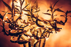 Christmas  lights on tropical bamboo tree with orange background Royalty Free Stock Image