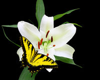 Christmas Lily Royalty Free Stock Photography