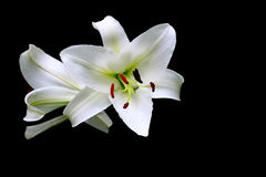 Christmas Lily Stock Images