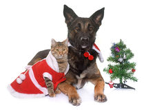 Christmas malinois and cat. Belgian shepherd malinois and cat  in front of white background Stock Image