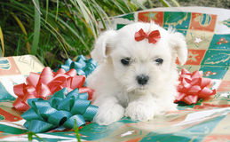 Christmas maltese Stock Photos