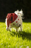 Christmas maltese Royalty Free Stock Photo