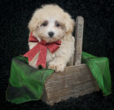 Christmas Malti-Poo Puppy. Sweet little Malti-poo puppy sitting in a basket with a red Christmas bow, on a black background Stock Image