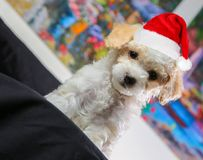 Christmas Maltipoo Puppy With Big Eyes & Christmas Hat. Christmas Multipoo Puppy with Christmas Hat. Red Hat. Sitting on a black blanket with colorful background royalty free stock photos