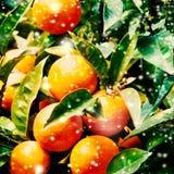 Christmas Mandarins Tangerines Close up Royalty Free Stock Photos