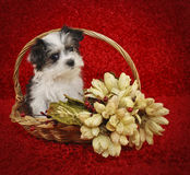 Christmas Morkie Puppy Stock Photography