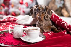 Puppy and coffee cup. Christmas morning and coffee cup, next to the sofa is a dog stock image