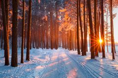 Snow path in winter forest. Evening sun shines through trees. Sun illuminates trees with frost. Winter snowy sunny landscape. Christmas nature. Xmas scenery royalty free stock photo