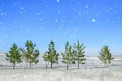 Christmas and New Year background. Christmas trees in the forest during a snowfall on the background of bright blue sky. Royalty Free Stock Images