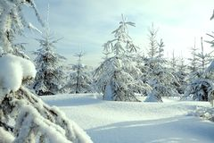 Christmas and new year trees covered with snow in winter forest Royalty Free Stock Images