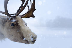 Christmas northern deer Stock Photo