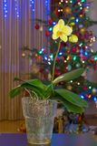 Christmas orchid royalty free stock image