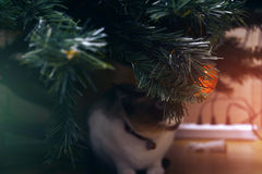 Christmas ornaments. Snowshoe cat under a Christmas tree Stock Photography