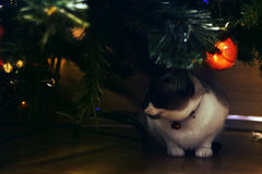 Christmas ornaments. Snowshoe cat under a Christmas tree Royalty Free Stock Images