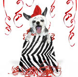 Christmas party Dog. A black and white singing or caroling chihuahua party animal in a black and white zebra striped bag for a christmas present Stock Photos