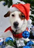Christmas pet Royalty Free Stock Images