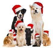 Christmas pets with santa hats. Sitting isolated on white stock photography