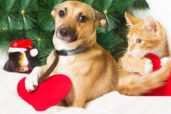Christmas and Pets. On a white background Stock Photography