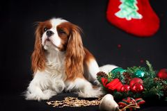Christmas photo of cavalier king charles spaniel on black background royalty free stock photo