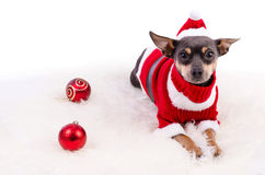 Christmas pincher dog laying on white rug Stock Images