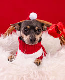 Christmas pincher puppy Royalty Free Stock Photo