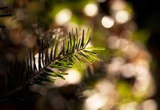 Christmas pine Stock Image