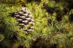 Christmas pine cone. On a Christmas tree Stock Photo