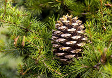 Christmas pine cone. On a Christmas tree Stock Images