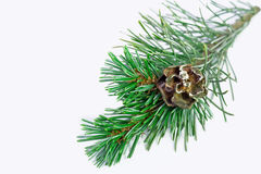 Christmas pine Stock Photo