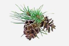 Christmas pine Stock Photography