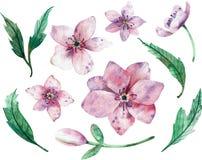 Christmas rose flowers isolated on white background. Watercolor illustration. Winter rose. Lenten rose